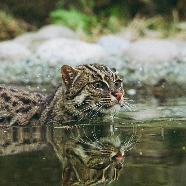 wildcat swimming