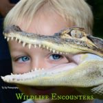 child learning about an alligator