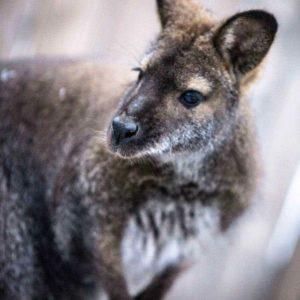 kiah the kangaroo